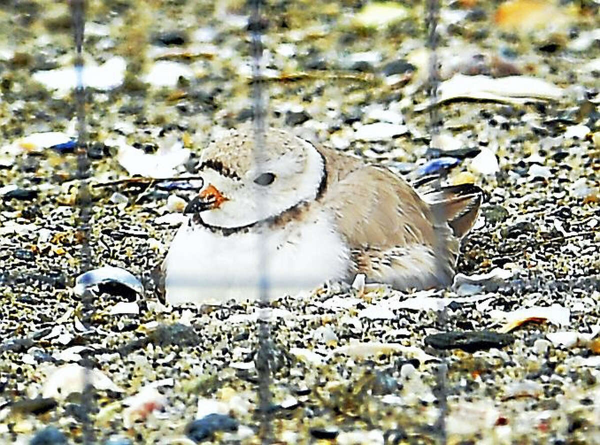 A nesting piping plover at the coastal center.