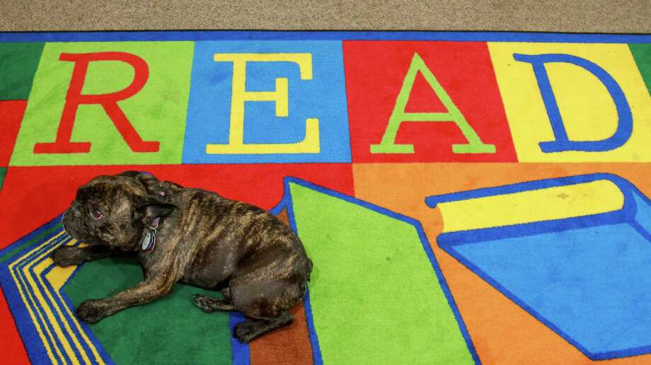 A French bulldog rests at the Houston Public Library, George B. Meyer Sr. Branch. The bulldog was part of a group of trained therapy dogs at the library to ease reading discomforts and encourage children to read.. (Gary Fountain / For the Chronicle) Photo: Gary Fountain, For The Chronicle / Copyright 2017 Gary Fountain