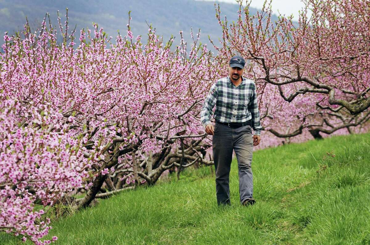 In this April 27, 2017 photo, Ben Clark walks among peach trees in full bloom at Clarkdale Orchards in Deerfield, Mass. A year after the peach crop in the northeastern U.S. hit the pits, growers and agricultural officials are anticipating a healthy rebound in 2017.
