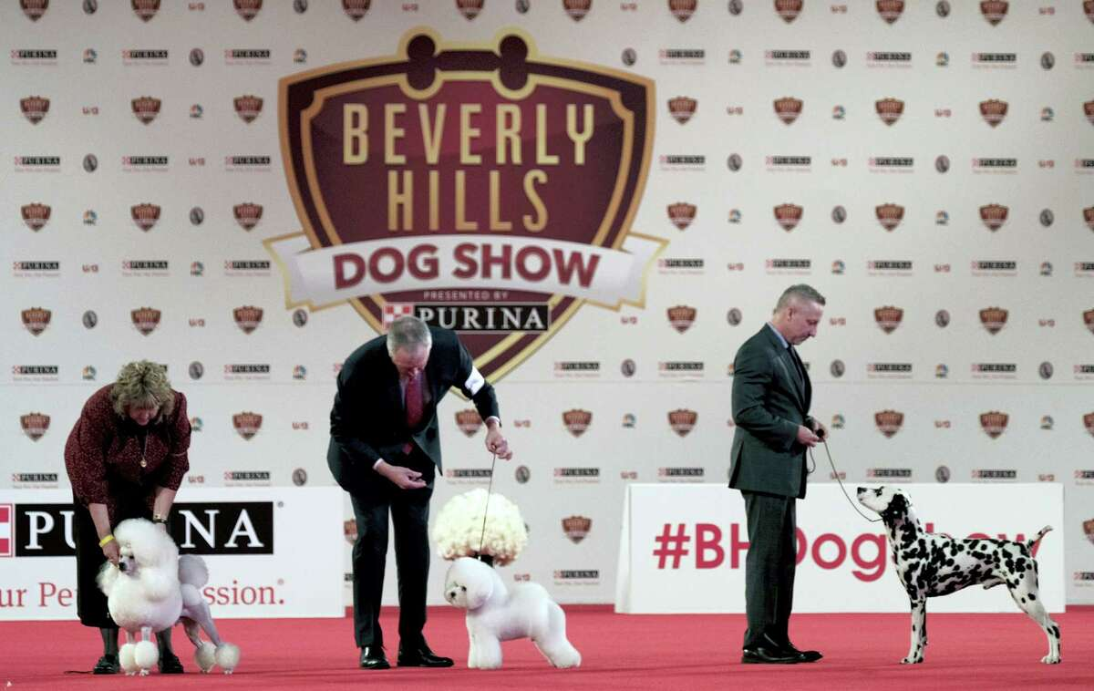 This March 4, 2017 photo shows dogs competing in the Annual Kennel Club of Beverly Hills Dog Show at Pomona Fairplex in Pomona, Calif. The competition, which included 1,000 dogs from 200 eligible breeds, will air on USA Network on April 16.