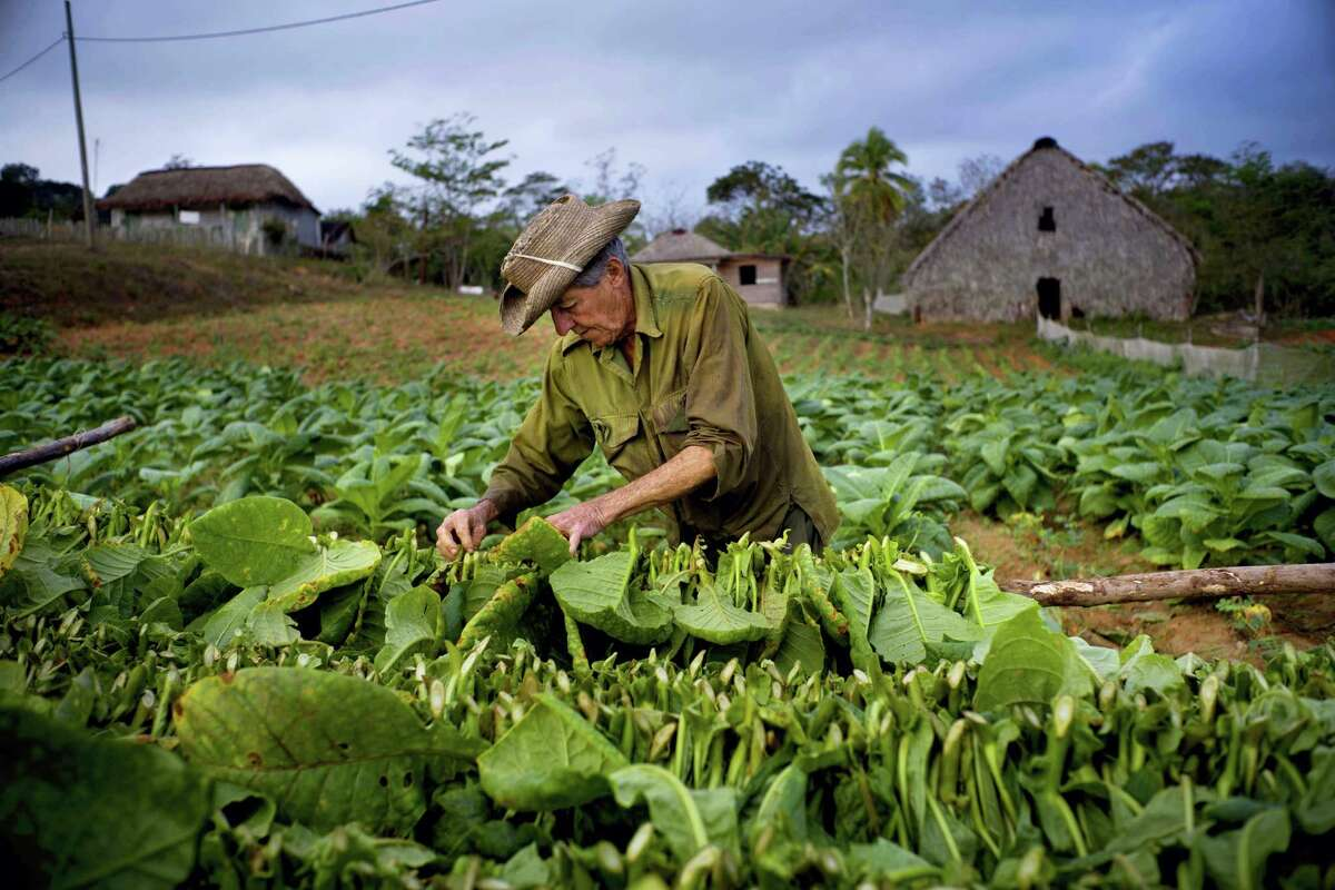 In this Feb. 28, 2017, photo, tobacco picker Romerio Garcia collects leaves at the Alfredo Rojas farm in Viales, Cuba, in its western province Pinar del Rio. Cuban tobacco growers have had a bumper crop so far this year.