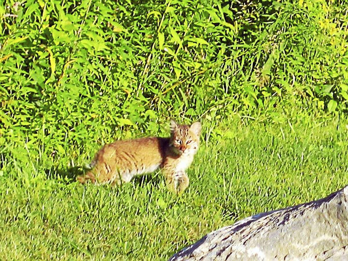 A Connecticut bobcat