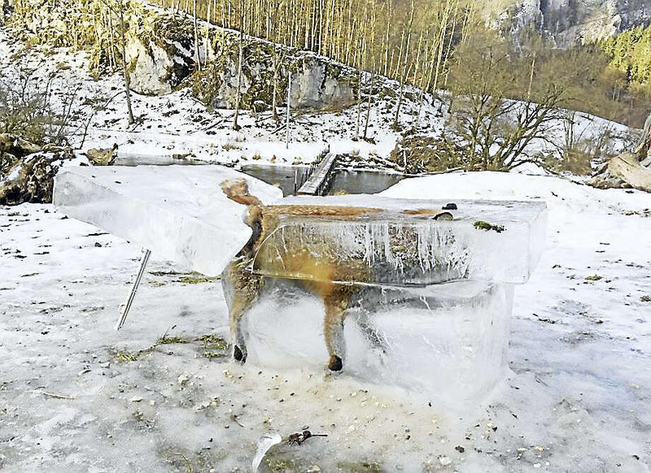 A block of ice containing a drowned fox who broke through the thin ice of the Danube river four days earlier sits on the bank of the Danube river in Fridingen, southern Germany, Friday, Jan. 13, 2017. Photo: Johannes Stehle/dpa Via AP