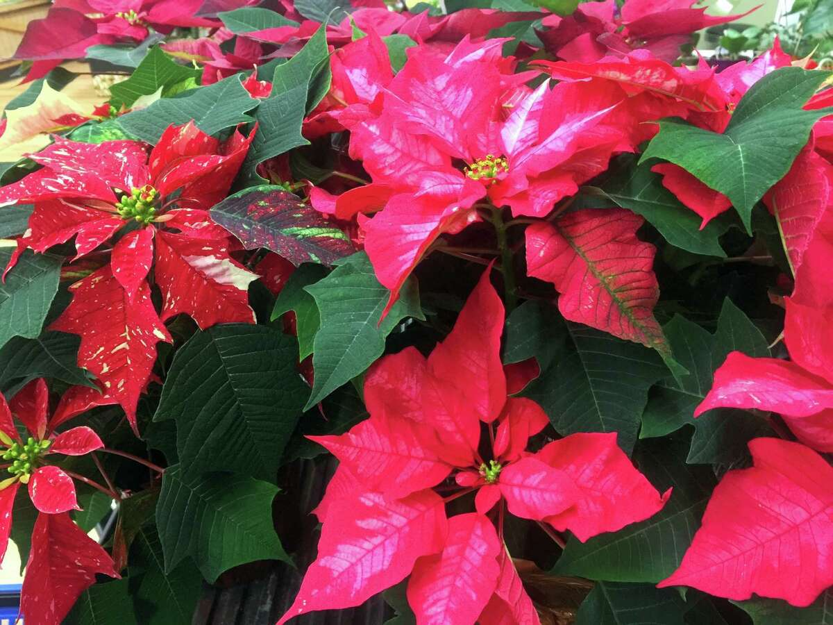 This Dec. 3, 2016 photo taken at a Langley, Wash., grocery store, shows poinsettias. Poinsettias come in many shapes and sizes but traditional red is still the most popular. There are more than 100 varieties of poinsettias, and range from the traditional red — still the most popular during the holidays — to pink, maroon, white and variegated.
