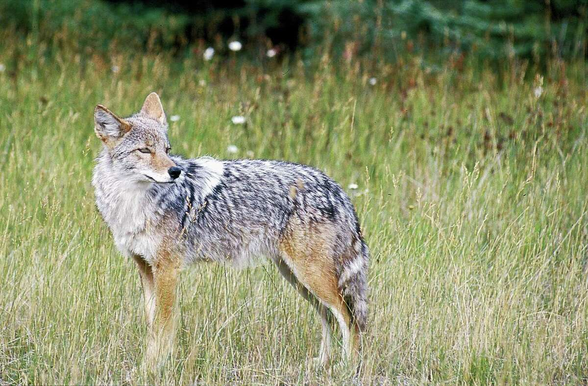 A coyote stands in a field in this undated file photo. (AP Photo)