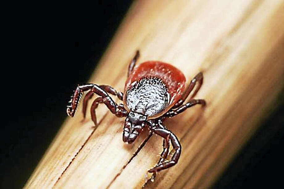 A deer tick sits on a piece of straw. Photo: Shutterstock