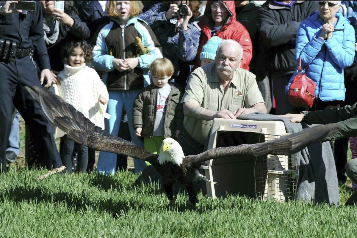 An injured eagle is released in Suffield on Friday. The eagle was injured by another according to raptor rehabilitator Tom Ricardi of Conway, Mass.