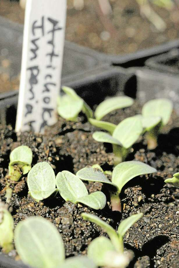 Artichokes make their way out of the soil. Photo: Digital First Media
