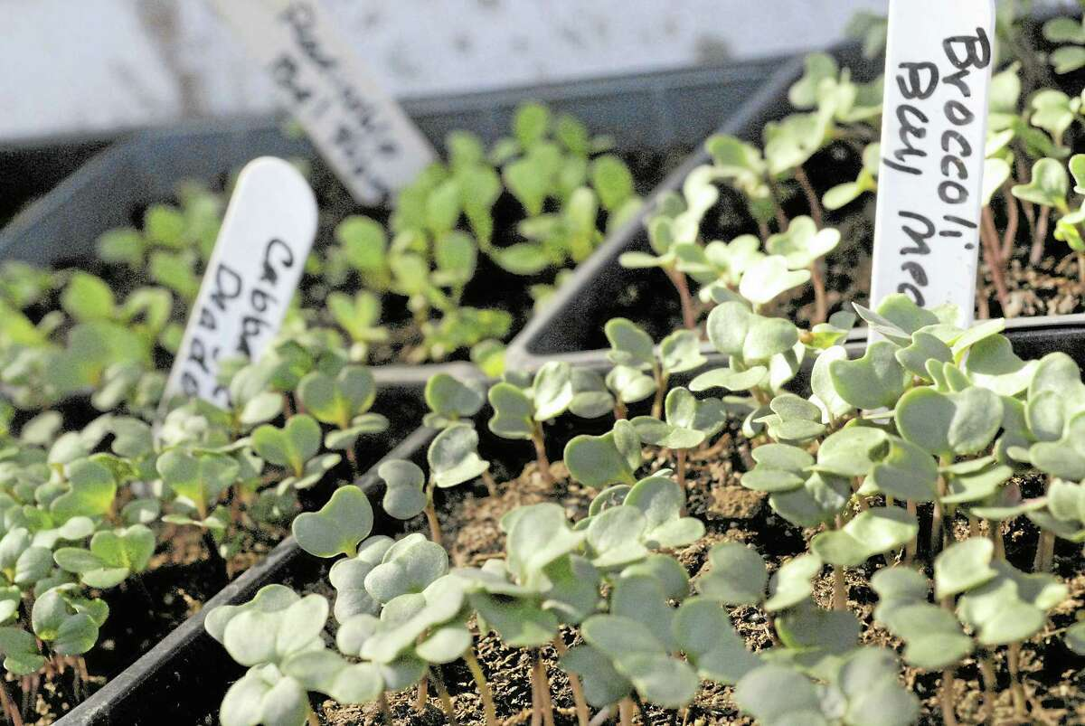 Broccoli and cabbage seedlings sprouting in flats.