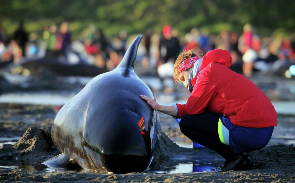 In this Friday, Feb 10, 2017 photo, German visitor Lea Stubbe rubs water on a pilot whale that beached itself at the remote Farewell Spit on the tip of the South Island of New Zealand. Volunteers in New Zealand managed to refloat about 100 surviving pilot whales on Saturday, Feb. 11, 2017 and are hoping they will swim back out to sea after more than 400 of the creatures swam aground at a remote beach.