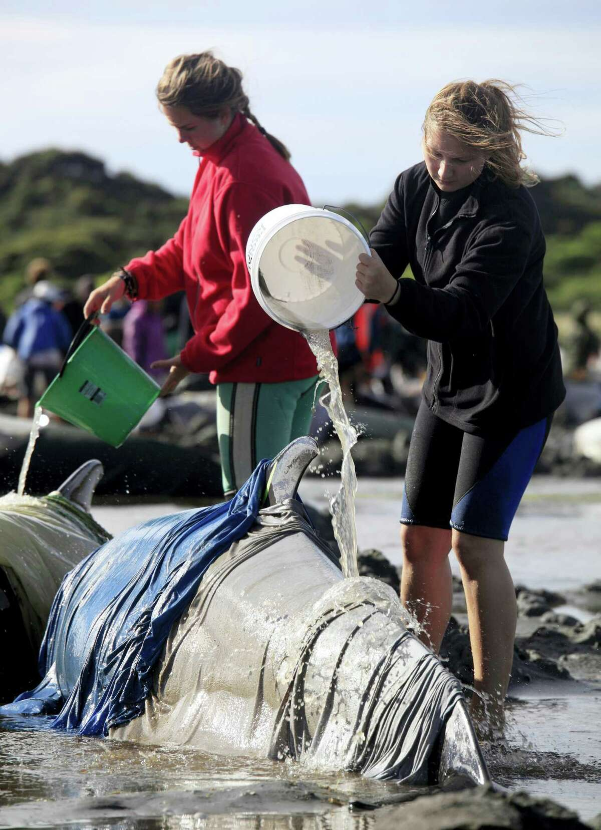 In this Friday, Feb 10, 2017 photo, volunteers pour water over beached whales at the remote Farewell Spit on the tip of the South Island of New Zealand. Volunteers in New Zealand managed to refloat about 100 surviving pilot whales on Saturday, Feb. 11 and are hoping they will swim back out to sea after more than 400 of the creatures swam aground at a remote beach.