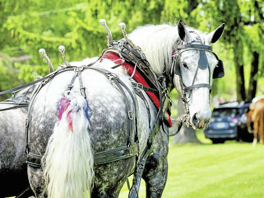 The percherons participated in the 2016 Goshen Memorial Day Parade. Photo: Photos By Stacie Lynch  / stacielynch.com