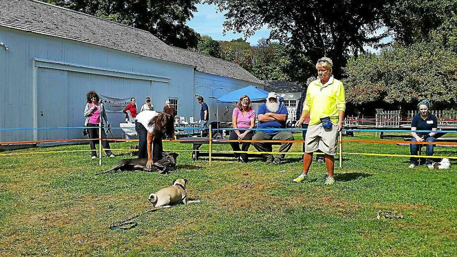 Two-year-old pug Winston did a trick for his owner Pat Theraut of Bethlehem at the 14th Annual Dog Show held at the Bellamy-Ferriday House & Garden at 9 Main St. North in Bethlehem on Saturday afternoon. Photo: NF Ambery — The Register Citizen