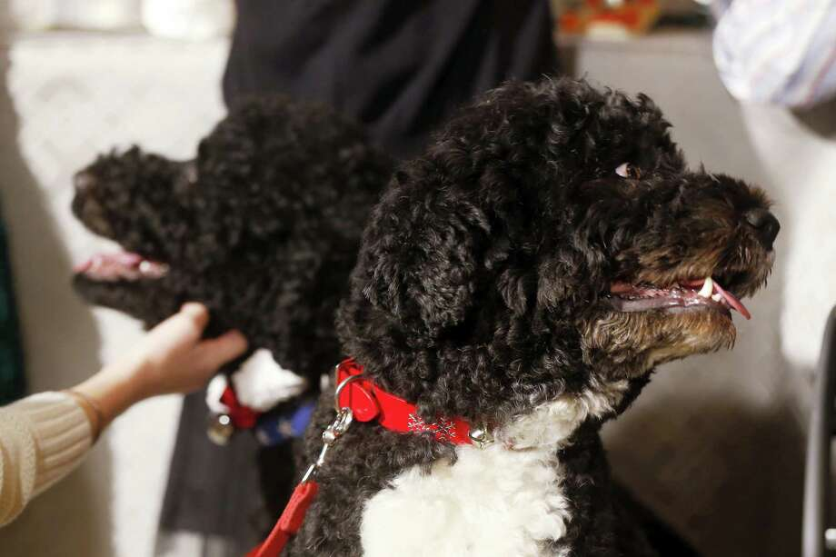 In this Dec. 4, 2013 photo, Bo, right, and Sunny, the Obama family dogs, watch as children join first lady Michelle Obama in the State Dining Room at the White House in Washington. The Portuguese water dogs are popular canine ambassadors for the White House. Photo: AP Photo/Charles Dharapak, File  / AP2013