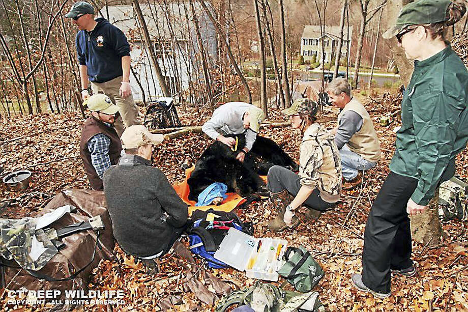Biologists with the Connecticut Department of Energy and Environmental Protection intervene with bears when they present a threat to people in a community. (Submitted Photo - CT DEEP) Photo: Journal Register Co.