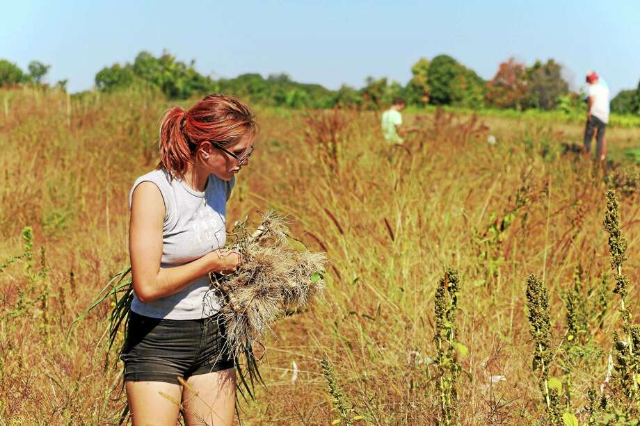 Anastasia Melvin of Torrington harvests leeks at Waldingfield Farm. Photo: John Fitts — The Register Citizen