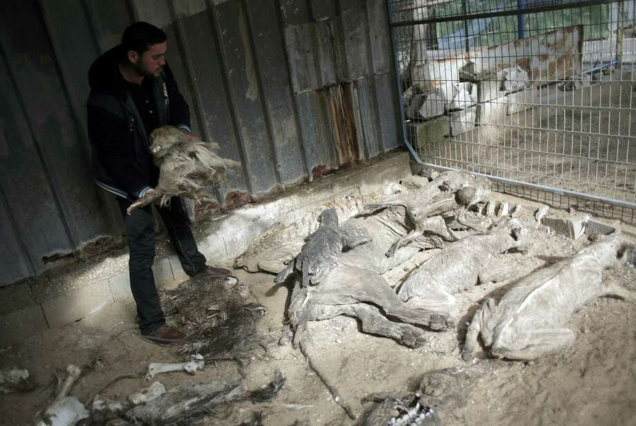 """In this Sunday, Jan 10, 2016, photo, the Palestinian owner of the South Jungle Zoo, Mohammed Ouida, shows the remains of animals that died from hunger and Israeli strikes at the Jungle Zoo in Rafah, southern Gaza Strip. The African tiger at the zoo in southern Gaza Strip was emaciated, its belly shrunken and its striped coat loose. Inside its cage, it rumbled and strode nervously back and forth. Ouida says he would be """"thankful"""" for any outside help. """"I'm waiting for someone to buy the zoo or for the animals to die."""" Photo: AP Photo/ Khalil Hamra   / AP"""