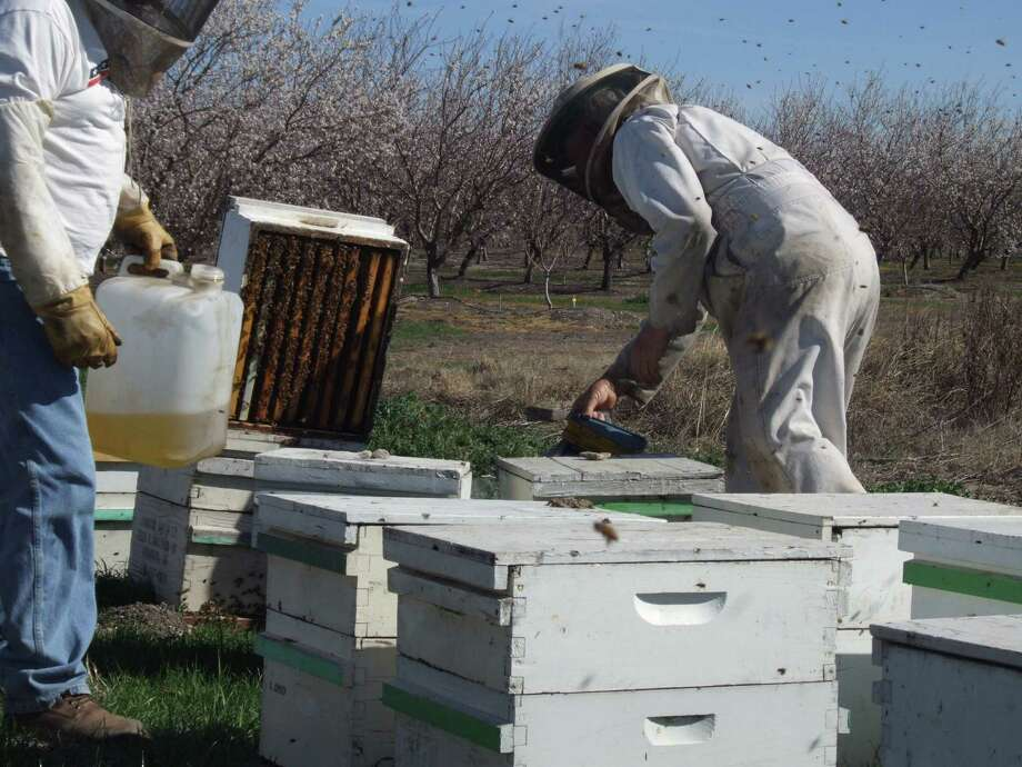 In this Feb. 23, 2012, photo, beekeeper Orin Johnson, right, and son-in-law Jay Rolon  check on colonies pollinating an almond orchard northwest of Waterford, Calif. Photo: AP File Photo  / Modesto Bee