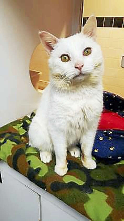 Jasper, an all-white, 7-year-old shorthair kitty, does want to live with kids over 10 years of age.  He has not had much experience with dogs, but he may be willing to share his home with a canine.  Jasper is FIV positive so he must be an indoor kitty, and he can either be the only kitty in the home OR he can live with other FIV positive kitties.  This is a quiet and reserved cat who would prefer a peaceful home.Remember, the Connecticut Humane Society has no time limits for adoption.Inquiries for adoption should be made at the Connecticut Humane Society located at 701 Russell Road in Newington or by calling (860) 594-4500 or toll free at 1-800-452-0114.The Connecticut Humane Society is a private organization with branch shelters in Waterford and Westport. The Connecticut Humane Society is not affiliated with any other animal welfare organizations on the national, regional or local level. Photo: Journal Register Co.