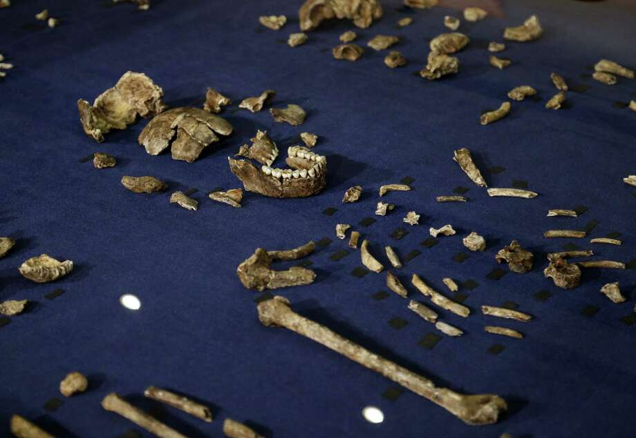 A composite skeleton of Homo naledi surrounded by some of the hundreds of other fossil elements displayed in Magaliesburg, South Africa on Sept. 10, 2015. Photo: AP Photo/Themba Hadebe  / AP