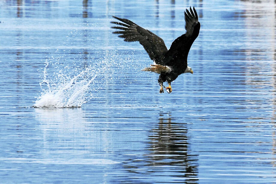 A bald eagle in Sitka, Alaska snatches a herring from the Sitka Sound in July 2014. This type of fishing behavior can be observed at the Shepaug Dam in Southbury as eagles congregate near the warm waters of the dam for fishing in the winter months. Photo: Journal Register Co.