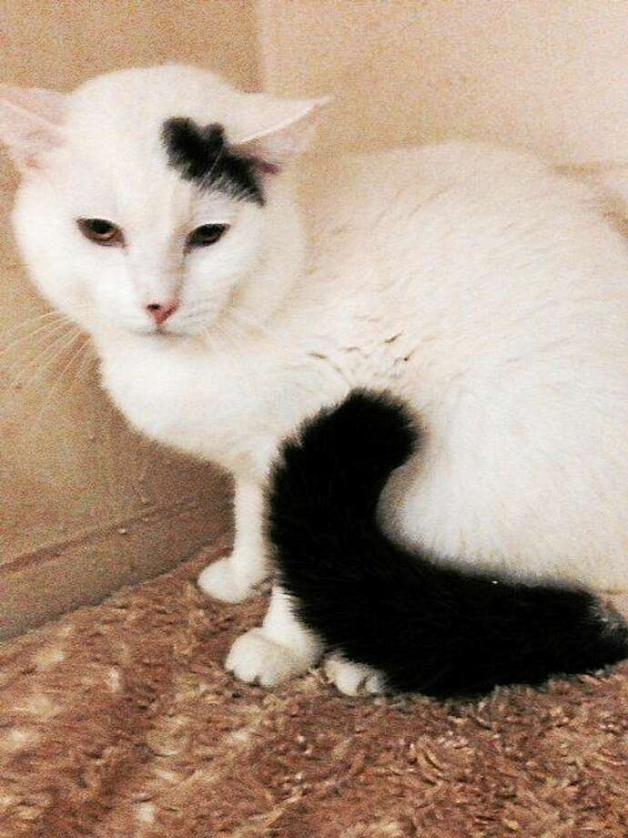 Pierre Pierre, a 1-2 year-old neutered male. is a wonderful mellow, calm, mostly all white cat with a few spots of black, male neutered.  He is approx. 1-2  yrs old, healthy, very affectionate, lovable, and a real sweetheart.  He has lived with other mellow cats.   Pierre is in urgent need of a reliable foster home until placed, everything provided. Contact Pet Protectors at www.petprotectorsrescue.org, by calling 203-330-0255 or email contactus@petprotectorsrescue.org Photo: Journal Register Co.