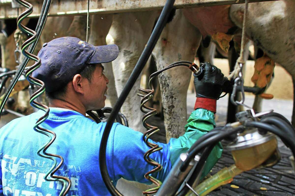 Oscar Alonso uses iodine to clean a cowís teats prior to milking at Freund's Farm.