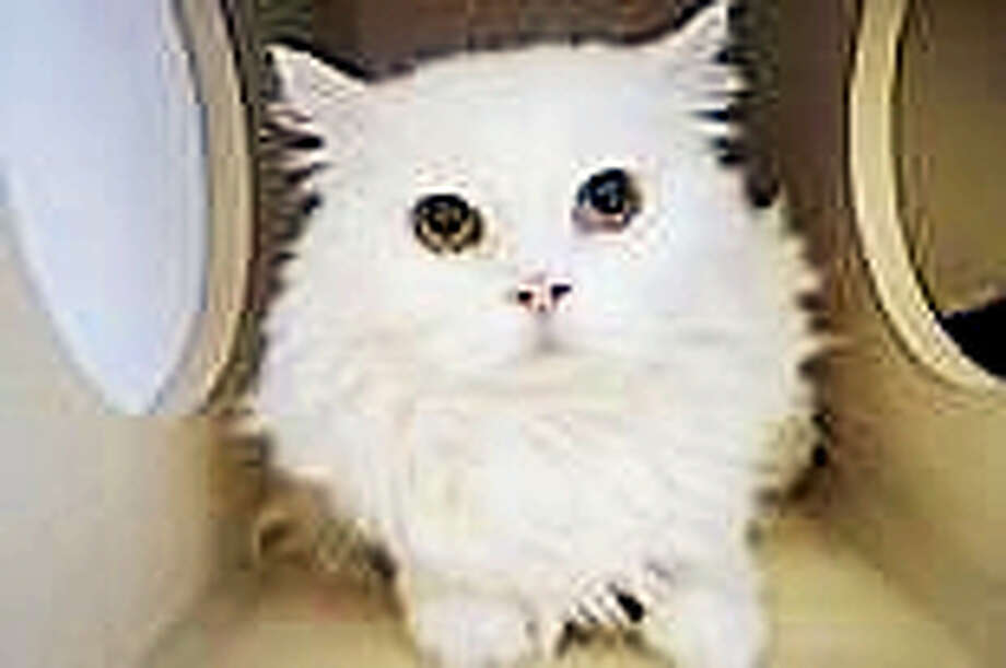 Prince Charming, a Persian mix can live in any size home, including apartments.  He is a quiet and reserved kitty at 11-years-old, and he would prefer a peaceful home with adults.  Prince Charming has not has much experience with other cats or dogs, but he is willing to consider sharing his home with a furry friend.  Come and let Prince Charming meet you in our Newington shelter.Remember, the Connecticut Humane Society has no time limits for adoption.Inquiries for adoption should be made at the Connecticut Humane Society located at 701 Russell Road in Newington or by calling (860) 594-4500 or toll free at 1-800-452-0114.The Connecticut Humane Society is a private organization with branch shelters in Waterford and Westport. The Connecticut Humane Society is not affiliated with any other animal welfare organizations on the national, regional or local level. Photo: Journal Register Co.