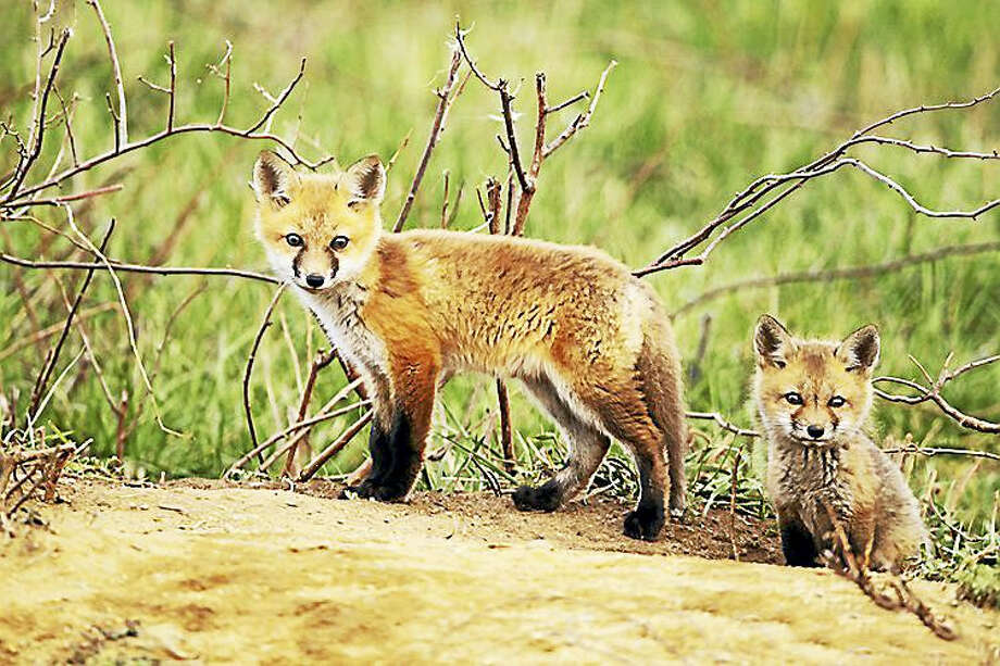 Red foxes in Connecticut. Photo: Department Of Energy And Environmental Protection - Submitted Photo