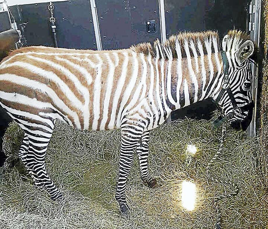 Zula, a 5-month-old zebra, was found dead on state land. Photo: Richard Mayer - Daily Freeman