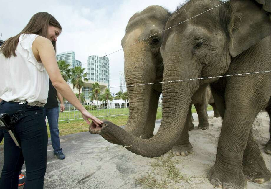 In this Jan. 8, 2016 photo, Alana Feld, Ringling Bros. and Barnum & Bailey Circus' executive vice president and show producer, interacts with Asian elephants outside the American Airlines Arena in Miami. Feld owns the largest herd of Asian elephants in North America. Photo: AP Photo/Wilfredo Lee  / AP