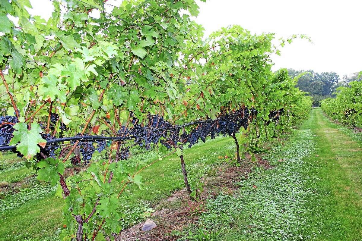 Grape vines at Maywood.