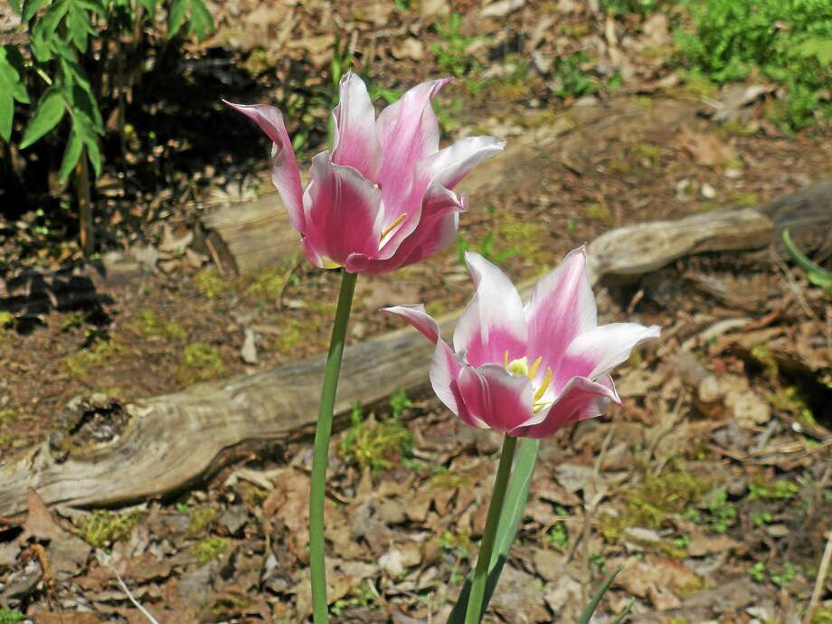 Stephen Underwood photo A couple of spring blooms at Cricket Hill Garden Sunday. Photo: Journal Register Co.