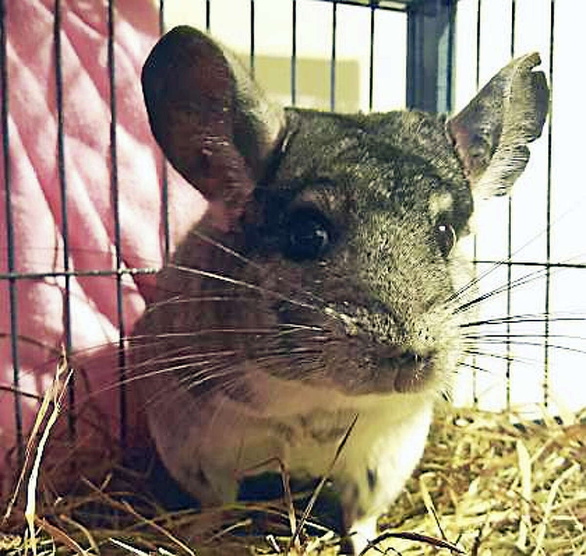 Hufflepuff is the perfect name for this small and furry creature! This is a Chinchilla and he is 4-years-old. Chinchillas can make wonderful pets for the right family. They are smart, inquisitive, and loving animals. They are active, vocal, and entertaining to watch. Since they can live up to 20 years they can be long time companions. These adorable creatures are social animals and need a lot of interaction. Two chinchillas may be better than one, as they can play and interact and not be completely dependent on their owner. They are also a bit fragile, and are not recommended for young children. Come and visit beautiful Hufflepuff today!Remember, the Connecticut Humane Society has no time limits for adoption.Inquiries for adoption should be made at the Connecticut Humane Society located at 701 Russell Road in Newington or by calling (860) 594-4500 or toll free at 1-800-452-0114.The Connecticut Humane Society is a private organization with branch shelters in Waterford and Westport. The Connecticut Humane Society is not affiliated with any other animal welfare organizations on the national, regional or local level.