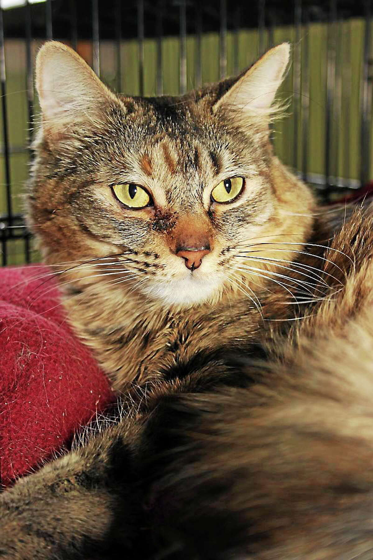 Fiona and Luna Fiona and Luna have lived together in the same household for many years and need to be adopted together. The are both wonderful to pet because their fur is so soft... and, luckily, they both adore being petted. Fiona has long hair and is the more outgoing of the two. She loves to explore and find people who will pet her. Luna prefers to stay in her cage and be petted there, but she also appreciates it when you dangle a wand toy for her playing enjoyment. Both are sad to find themselves homeless and are hoping youíll consider adopting them. Please drop by our adoption center in Granby and visit these two wonderful kitties. Reach Maryís Kitty Korner at 860-379-4141 or 413-297-0537 or visit maryskittykorner.org. Or email marys.kitty.korner@sbcglobal.net. We remind interested persons that the pets pictured may already have been adopted.