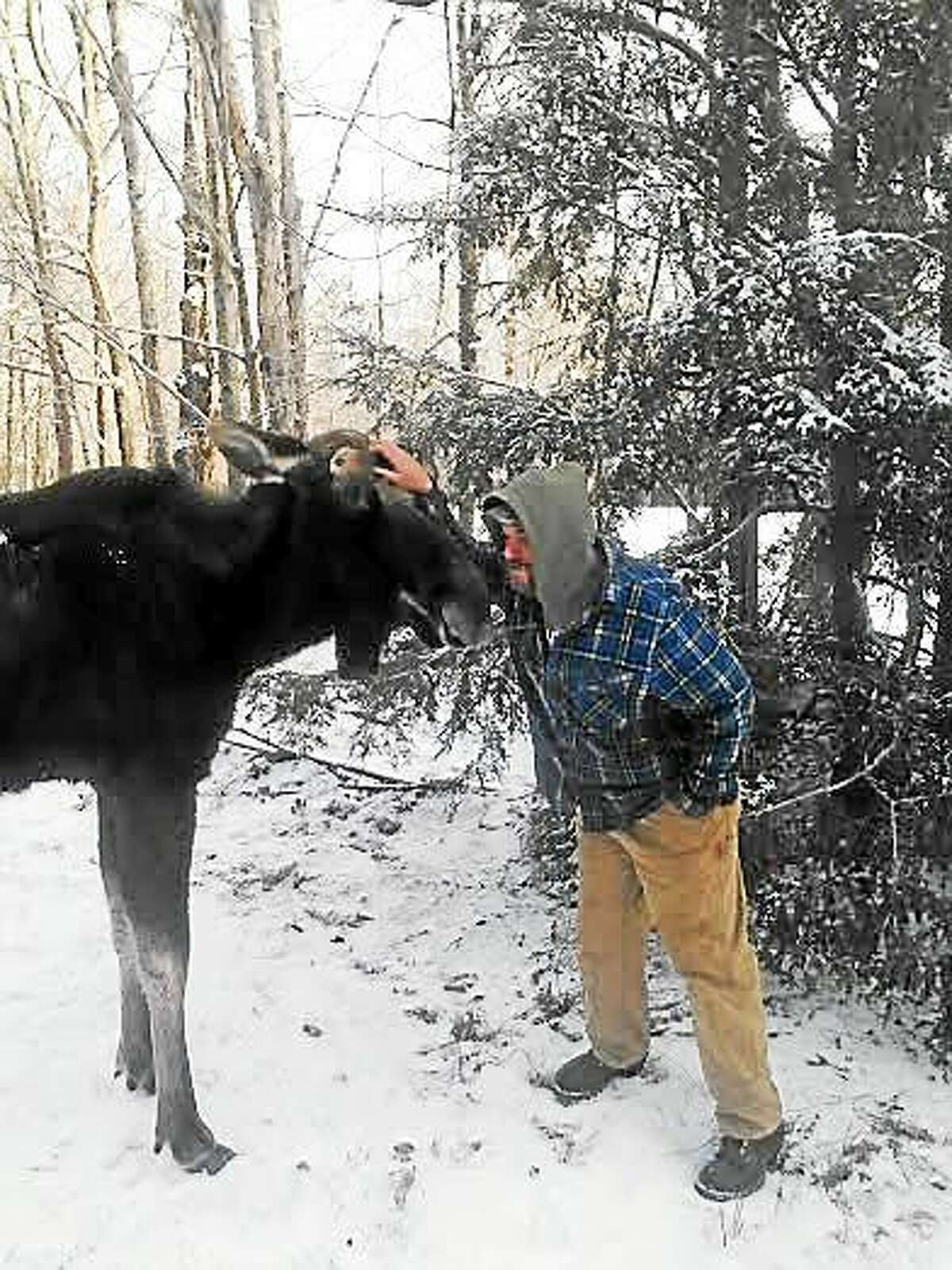 Tolland Highway Department worker Bob Littleton, not only encountered this young male moose near Tolland State Forest, but got close enough to it to give him a peck on the nose.