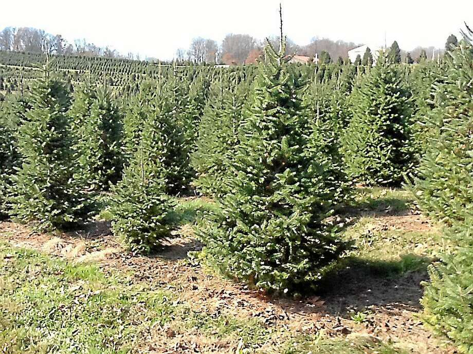 Christmas trees are seen in this Digital First Media file photo. Photo: Photo By Pam Baxter