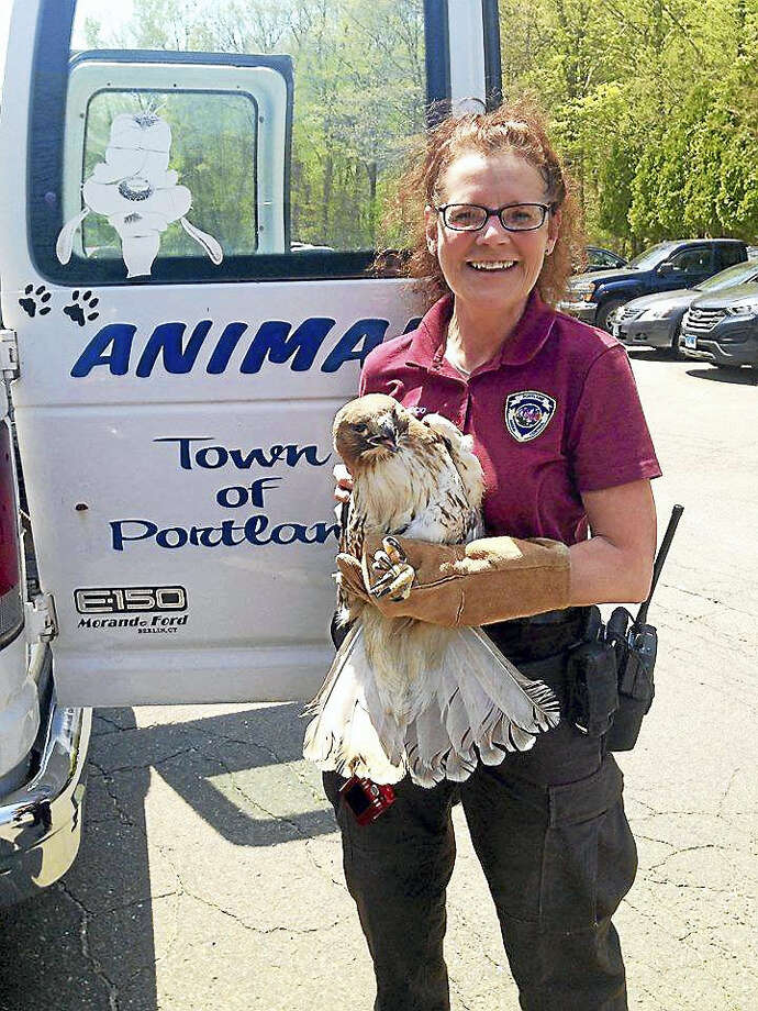 Karen Perruccio to the rescue when a red-tailed hawk became entangled in a net at the Portland West golf course Thursday. Photo: Courtesy Susan Bransfield