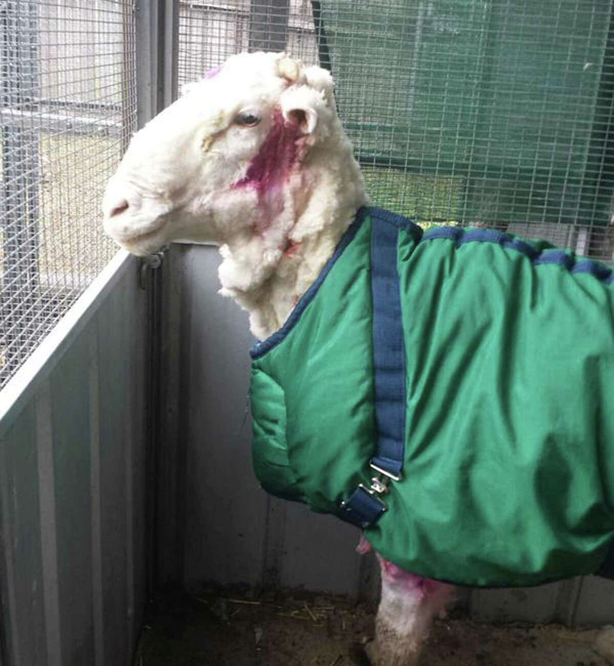 RSPCA ACT/ via AP In this photo provided by the RSPCA/Australian Capital Territory, a sheep found in Australian scrubland stands in a pen after it was shorn for perhaps the first time in Canberra, Australia, Thursday, Sept. 3, 2015. The wild, castrated merino ram dubbed Chris, yielded 40 kilograms (89 pounds) of wool ó the equivalent of 30 sweaters ó and shedding almost half his body weight.