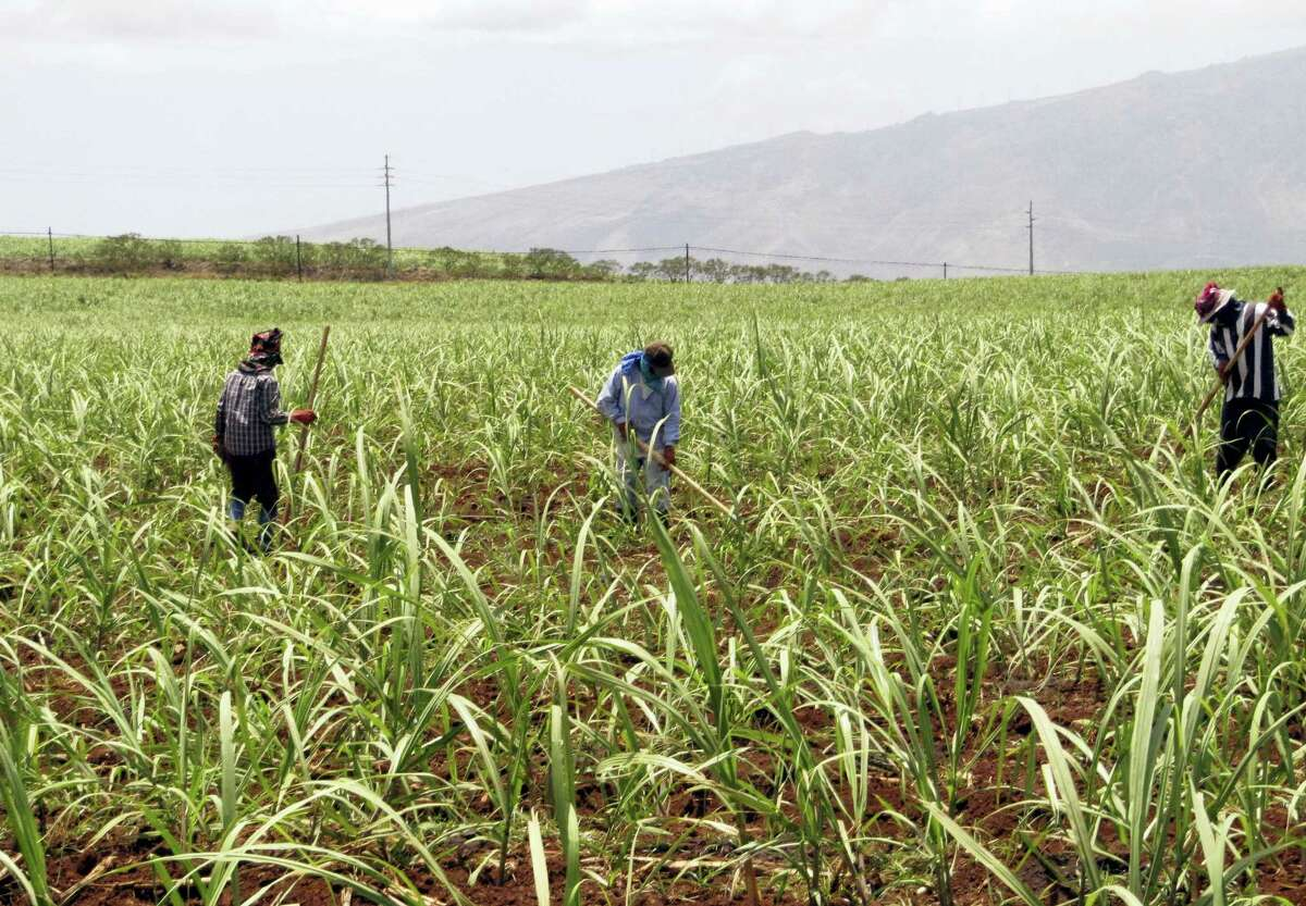 This April 27, 2010 photo shows workers in a cane field on the Hawaiian Commercial & Sugar plantation in Puunene, Hawaii. Hawaii's last sugar plantation is getting out of the sugar-growing business.