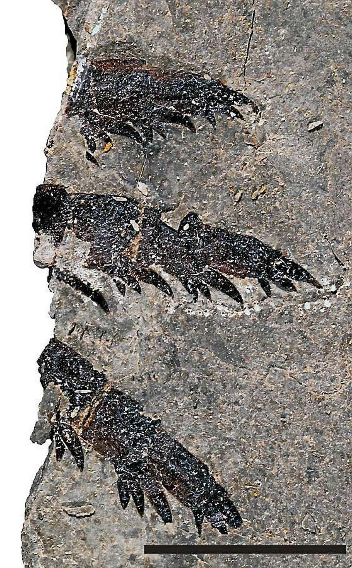 Fossils of juvenile Pentecopterus.
