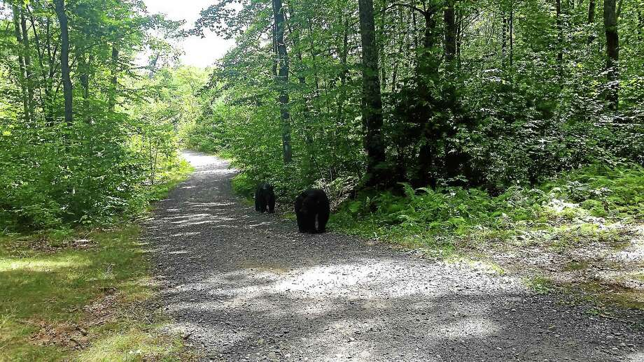 A young male bear approached a local hiker at a trail at Sessions Woods in Burlington last week. A second bear was nearby but less aggressive. Photo: Contributed — Stephanie Rivkin