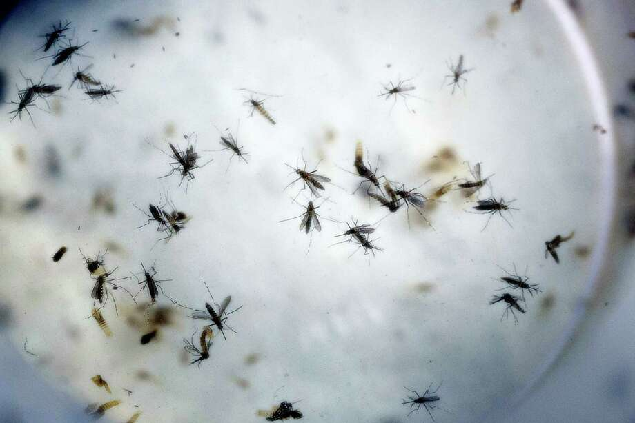 In this Feb. 11, 2016, file photo of aedes aegypti mosquitoes are seen in a mosquito cage at a laboratory in Cucuta, Colombia. The White House and Democrats are pressuring congressional Republicans to act on President Barack Obama's demands for money to combat the Zika virus, but even the onset of mosquito season sure to spread the virus has failed to create a sense of urgency. Photo: AP Photo/Ricardo Mazalan, File   / Copyright 2016 The Associated Press. All rights reserved. This material may not be published, broadcast, rewritten or redistribu