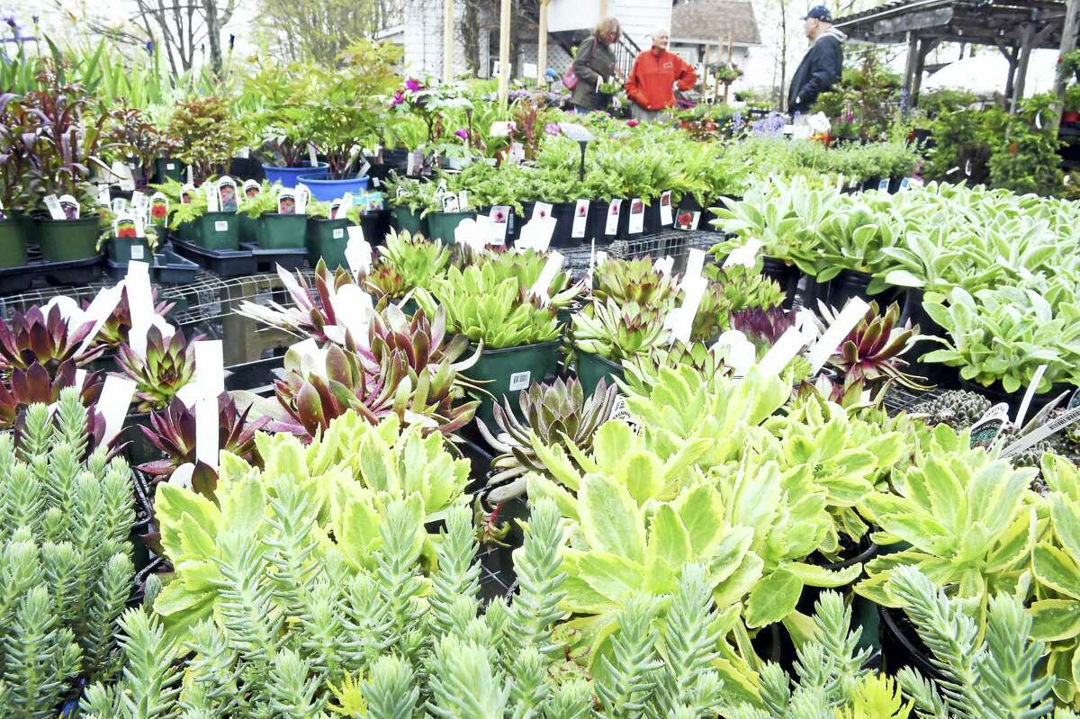 (Arnold Gold-New Haven Register) Succulent plants are displayed for sale at Natureworks in North Branford over the weekend.