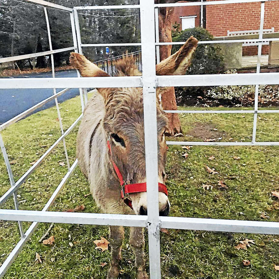 A donkey outside St. Anthony of Padua Church in Litchfield on Christmas Eve. Photo: Photo By Johanna Maches