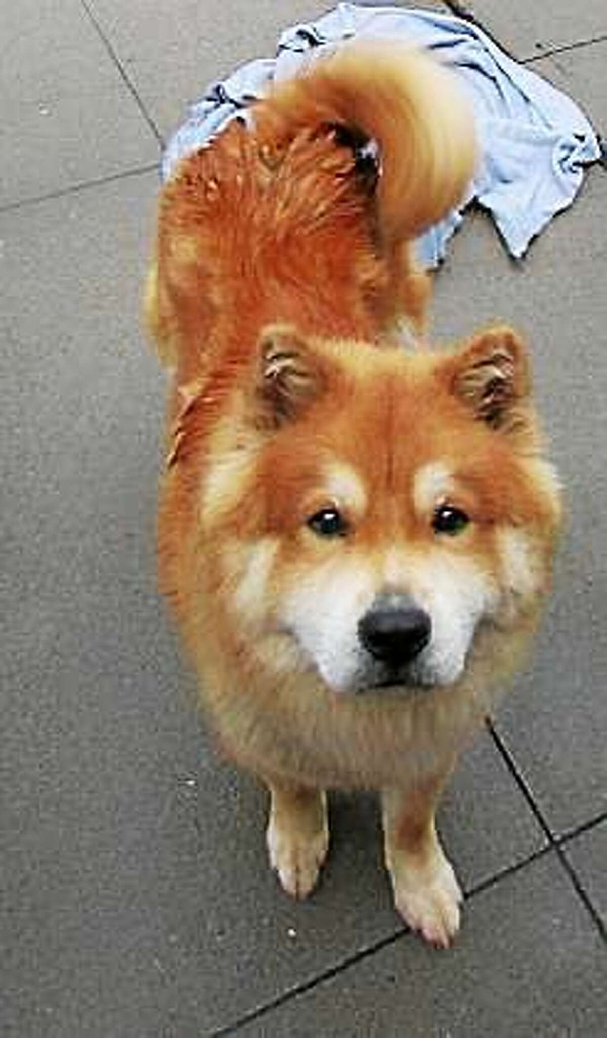 Funky Fresh is Chow Chow through and through, and this is very typical of his breed, so he would prefer to live with a family who has Chow Chow experience. One-year-old Funky should live in a single family owned home and any children in the household should be over 10 years of age. He has never been around cats or other dogs but seems willing to consider sharing his home with a furry friend. Funky is a high energy kind of dog and he is looking for a home where he can get lots of exercise every day! Remember, the Connecticut Humane Society has no time limits for adoption. Inquiries for adoption should be made at the Connecticut Humane Society located at 701 Russell Road in Newington or by calling (860) 594-4500 or toll free at 1-800-452-0114. The Connecticut Humane Society is a private organization with branch shelters in Waterford, Westport and a cat adoption center in the PetSMART store in New London. The Connecticut Humane Society is not affiliated with any other animal welfare organizations on the national, regional or local level.