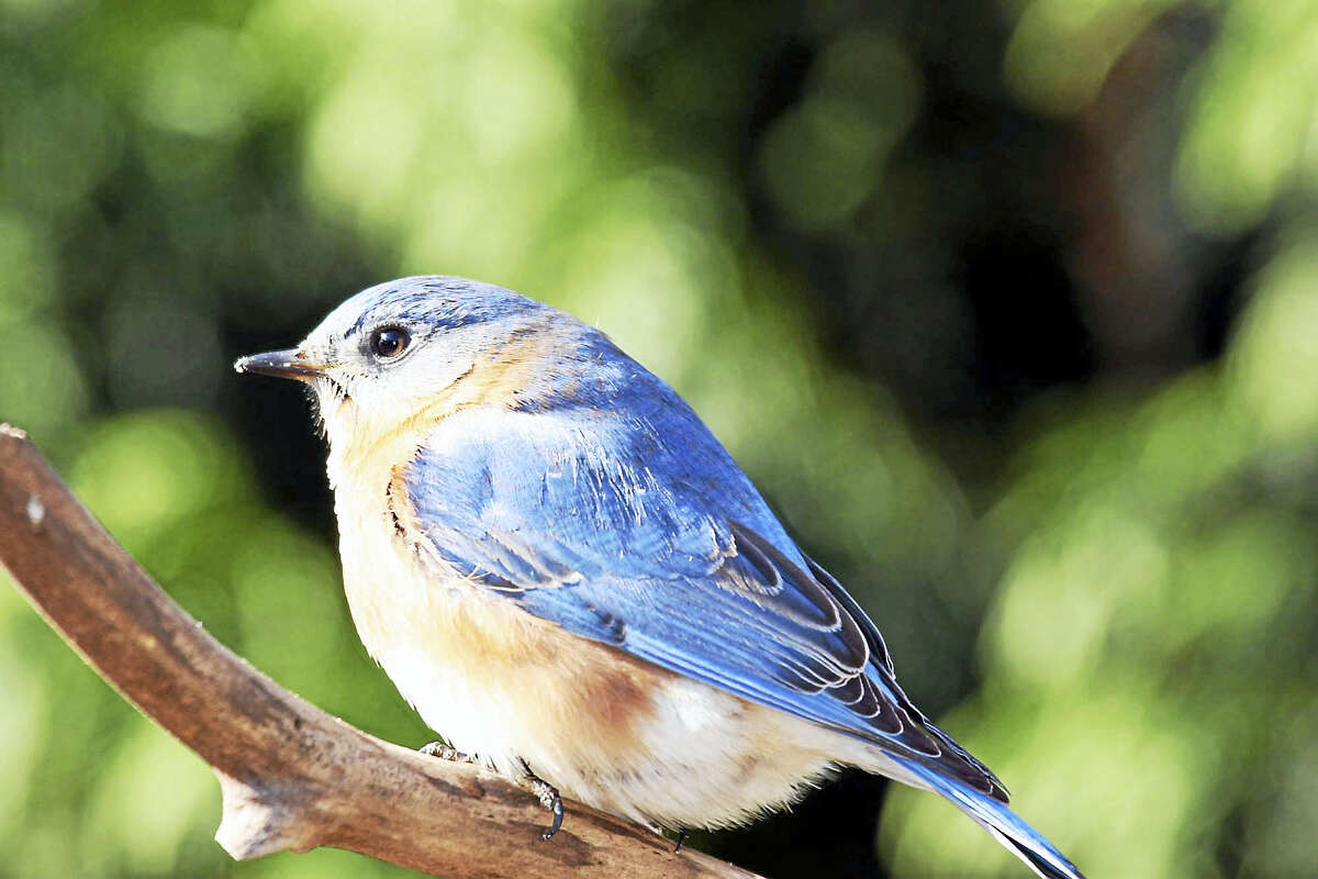 Bluebirds are among the most colorful and most desired of all backyard birds and many people design habitat especially for attracting them.
