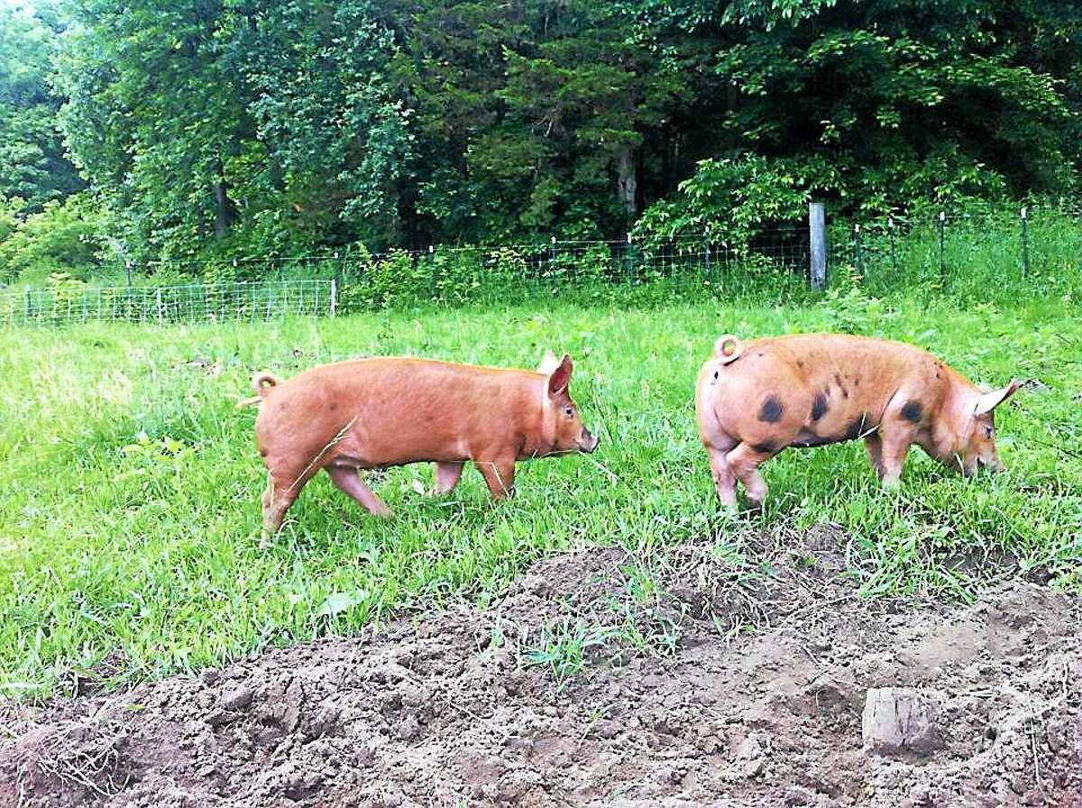 Pigs at Howling Flats Farm.