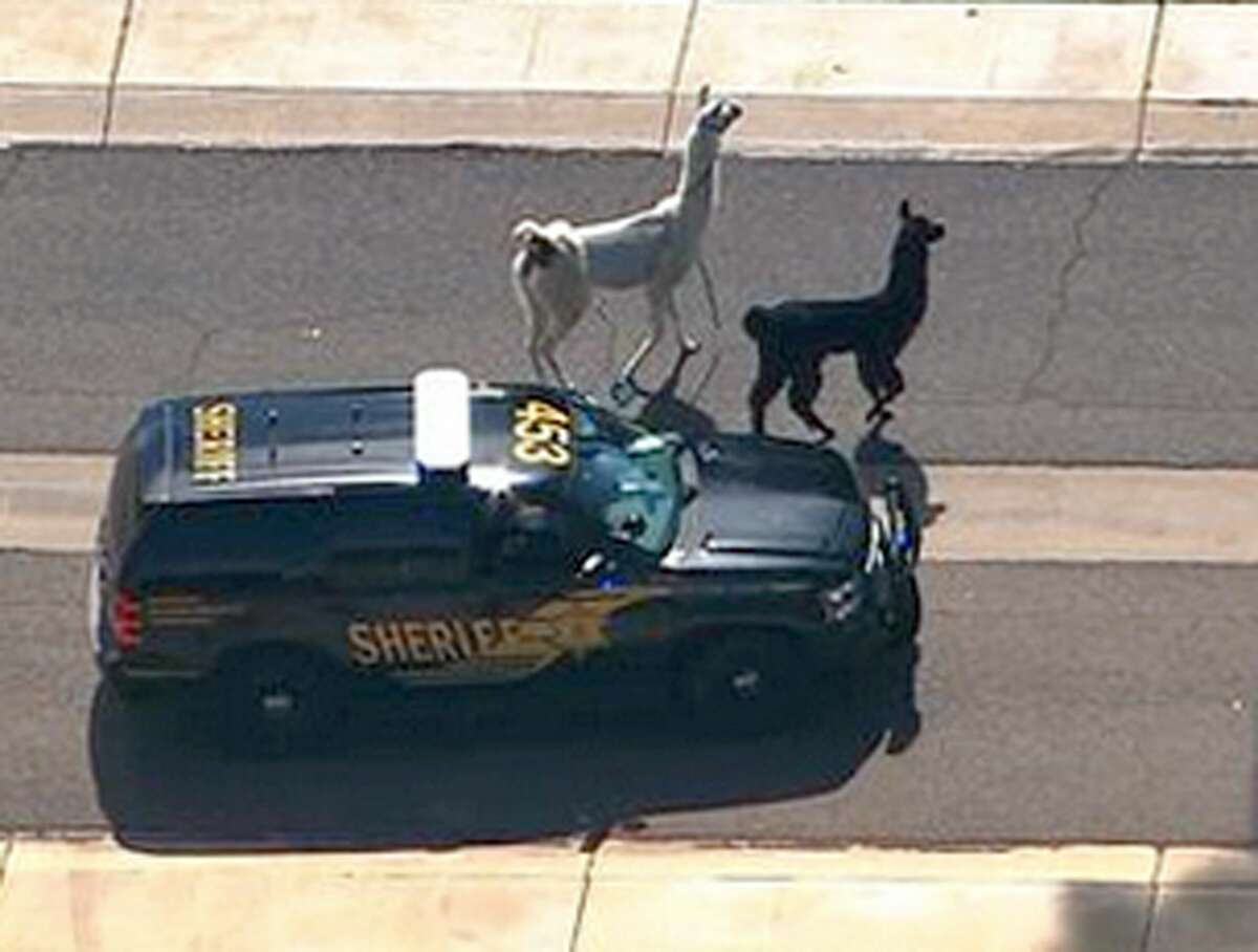 In this image taken from video and provided by abc15.com, a Maricopa County Sheriff's vehicle tries to herd two quick-footed llamas as they dash in and out of traffic before they were captured, Thursday, Feb. 26, 2015, in Sun City, Ariz., a Phoenix-area retirement community. The llamas thwarted numerous attempts by sheriff's deputies and bystanders to round them up before they were roped into custody.