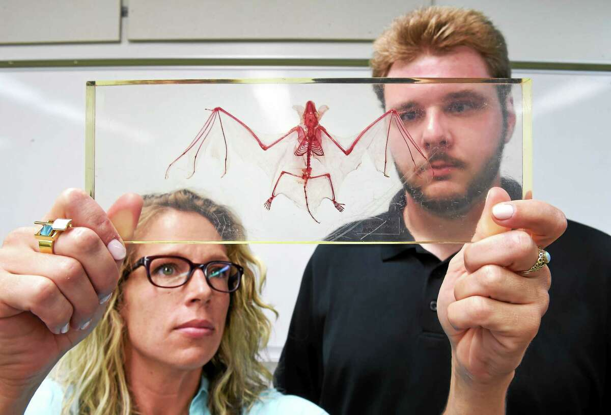 (Arnold Gold-New Haven Register) Biology Professor Miranda Dunbar (left) and Research Assistant Christopher Wisniewski are photographed with a skeleton of a Little Brown Bat at Southern Connecticut State University in New Haven on 6/24/2015.